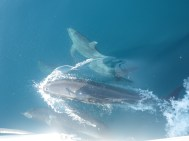 The dolphins swimming along with our boat.